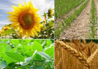Por la mayor cosecha, el ingreso de maíz a los puertos de Rosario logró un récord