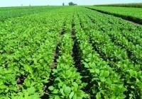 Monitoreo de enfermedades en el cultivo de soja