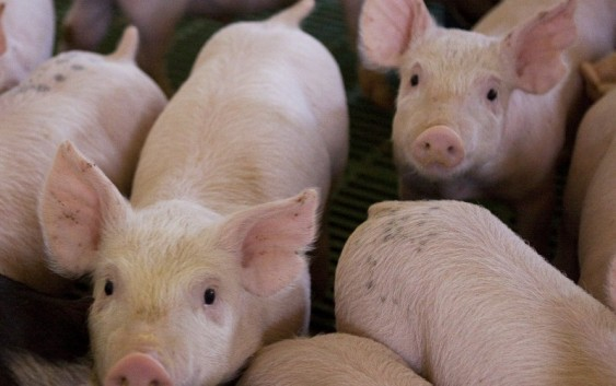 Porcinos: normalización de precios