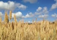 Sanidad en trigo: su importancia en el manejo integrado de enfermedades
