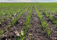 La siembra de trigo cae 400.000 hectáreas