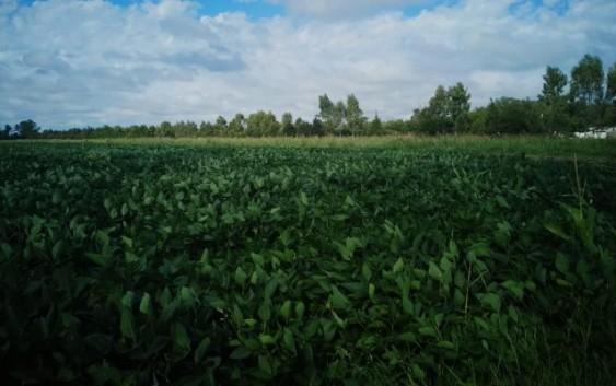 CharlasTécnicasACO: Manejo de enfermedades en soja