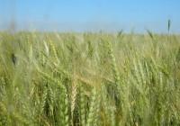 Rendimiento y calidad del trigo en la región central del país Campaña 2020/21