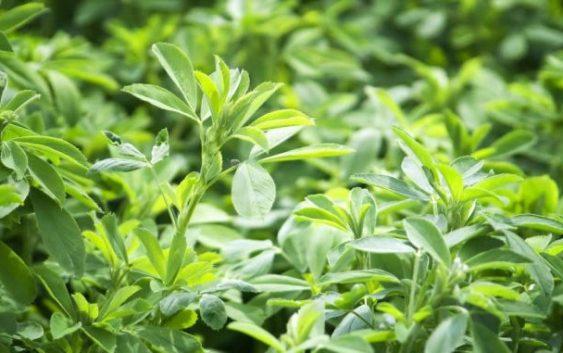 Claves para la siembra de alfalfa