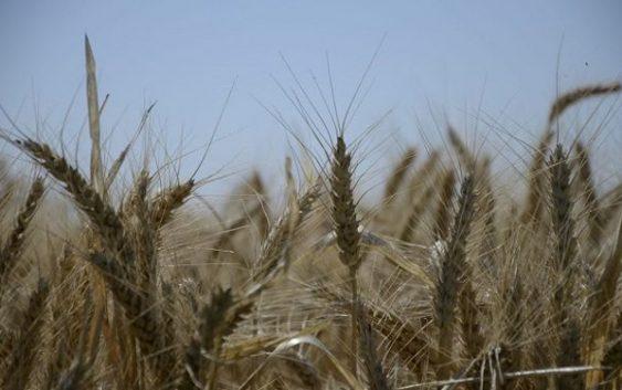 Actualización en trigo y cebada