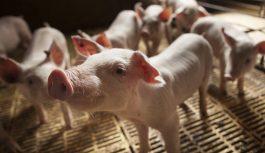 Las BPP constituyen una herramienta fundamental para la producción y comercialización porcina familiar.