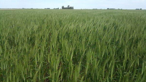 El nitrógeno es clave para el trigo