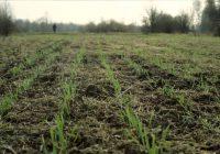 El 75% del trigo está en muy buenas condiciones en la región