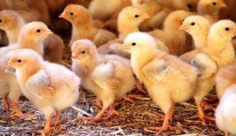 El productor integrado de pollos en una situación extrema y delicada