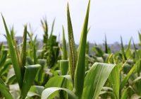 El maíz podría capturar nitrógeno atmosférico, reduciendo el uso de fertilizantes
