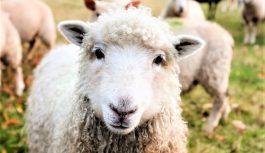 Llega a la Rural La primera exposición exclusiva de la industria ovina